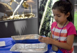 Melanie Franco, 6, sorts through 'owl droppings' to find what the bird ate during a free family fun day at the Museum of the Gulf Coast on Saturday. Mary Meaux/The News